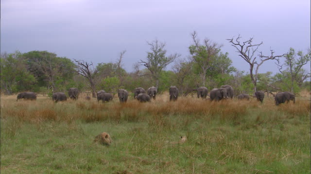 male lion and lioness watching elephant herd in okavango delta grassland - elephant stock videos & royalty-free footage