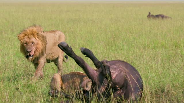 vídeos de stock, filmes e b-roll de male lion & buffalo kill, maasai mara, kenya, africa - animal hair