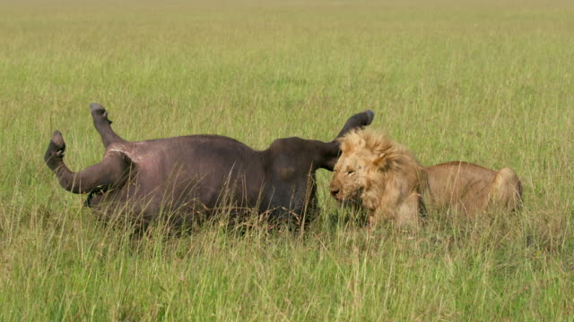 vídeos de stock, filmes e b-roll de male lion & buffalo kill, maasai mara, kenya, africa - búfalo africano