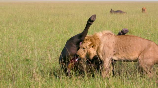 vídeos de stock e filmes b-roll de male lion & buffalo kill, maasai mara, kenya, africa - savana