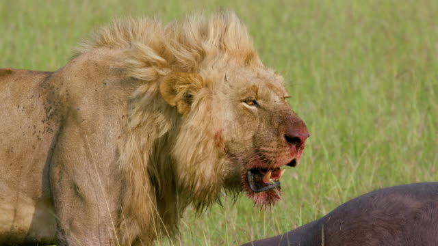 male lion & buffalo kill, maasai mara, kenya, africa - male animal stock videos & royalty-free footage