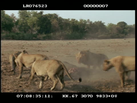 mwa male lion chases 4 lionesses away from elephant carcass - subordination stock videos & royalty-free footage