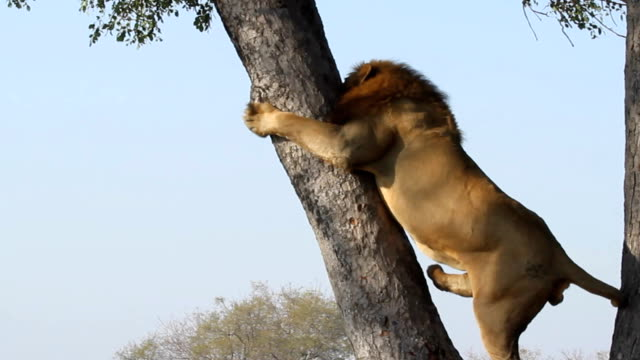 male lion climbs tree/ kruger national park/ south africa - löwe großkatze stock-videos und b-roll-filmmaterial