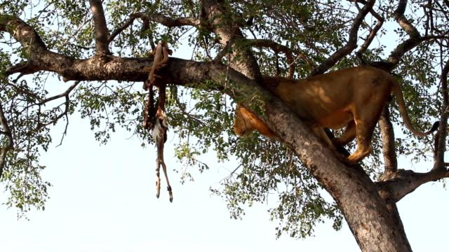 male lion climbs tree/ kruger national park/ south africa - krüger nationalpark stock-videos und b-roll-filmmaterial