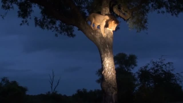 male lion descending tree/ kruger national park/ south africa - krüger nationalpark stock-videos und b-roll-filmmaterial