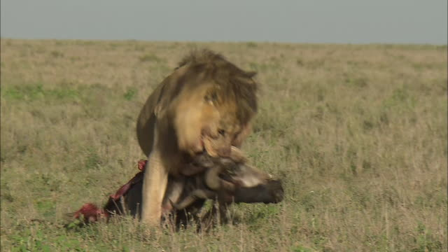 a male lion dragging a dead wildebeest (gnu) down on the grass in serengeti national park, tanzania - wildebeest stock videos & royalty-free footage