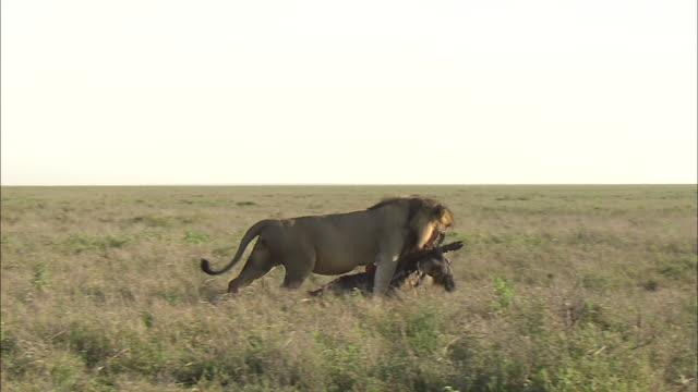 a male lion dragging its prey down in serengeti national park, tanzania - 引きずる点の映像素材/bロール
