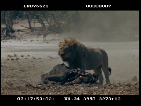 ms male lion dragging/guarding elephant carcass - dragging stock videos & royalty-free footage