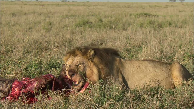 a male lion eating its prey on the grass in serengeti national park, tanzania - tiere bei der jagd stock-videos und b-roll-filmmaterial