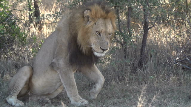 Male lion flops down dramatically to rest in the Kruger National Park, South Africa