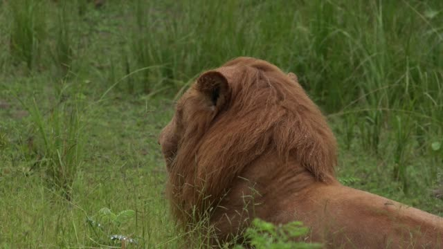 male lion in rain - male animal stock videos & royalty-free footage