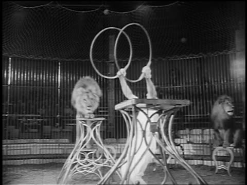 b/w 1955 male lion jumping thru two hoops being held by trainer in circus - circus stock videos & royalty-free footage