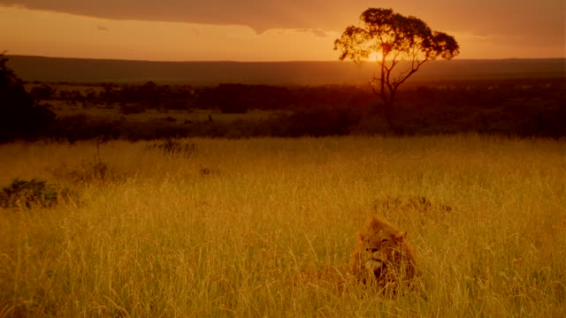 WS Male lion laying down in long grass at sunset / Masai Mara, Kenya