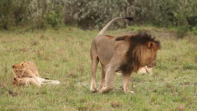 ms male lion laying on grass and cub playing / national park, africa, kenya - ligga ner bildbanksvideor och videomaterial från bakom kulisserna
