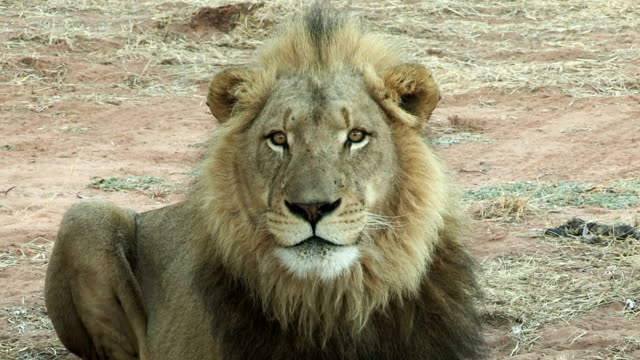 Male lion licking lips and looking towards camera
