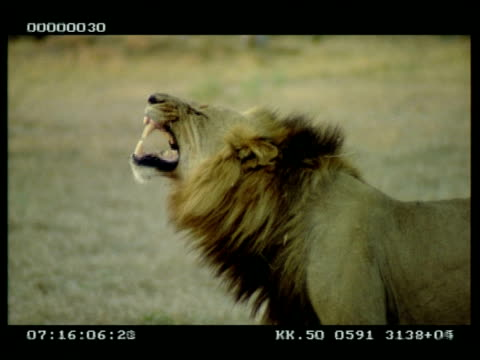 MS Male lion licking/sniffing grass, raises head and grimaces/roars