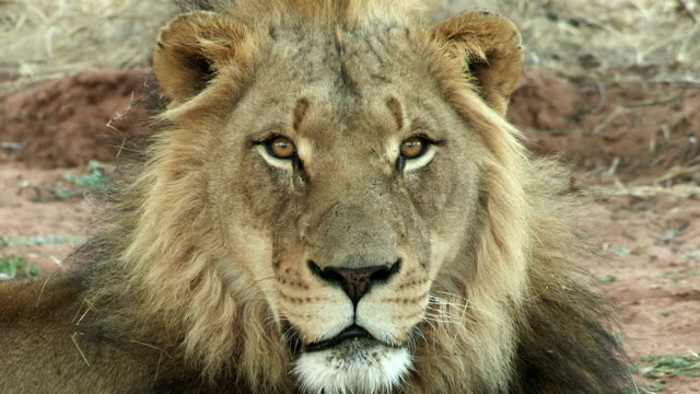 Male lion looking directly at camera
