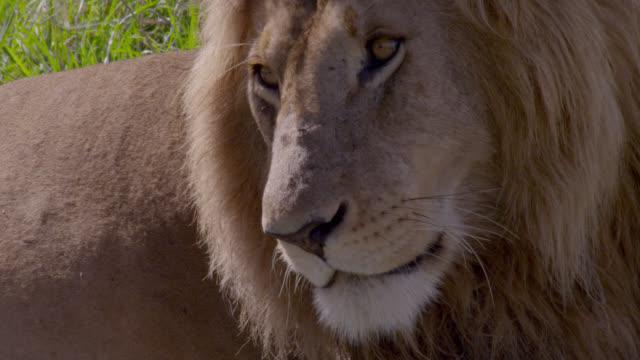 male lion (panthera leo) looks around on savannah, kenya - bbc点の映像素材/bロール