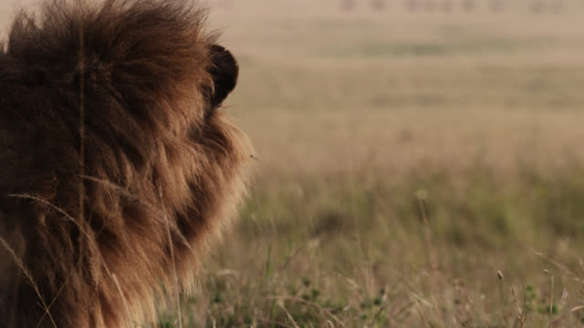 male lion (panthera leo) looks out over savannah, kenya - male animal stock videos & royalty-free footage