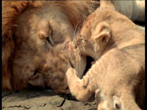 male lion loses patience with cub, roars and snarls at it, cub walks away, masai mara - gliedmaßen körperteile stock-videos und b-roll-filmmaterial