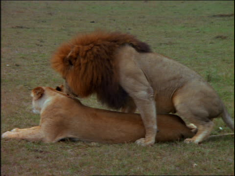 vidéos et rushes de male lion mating with playful female lion in grass / africa - accouplement lion