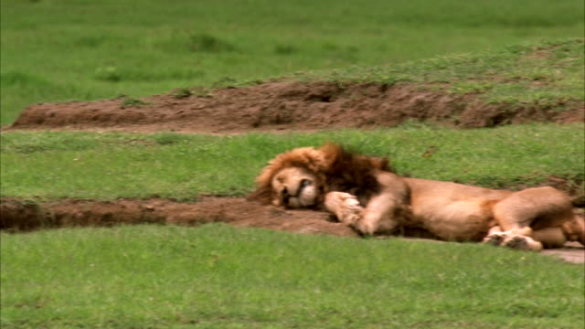 vidéos et rushes de a male lion naps on a field of green grass. available in hd. - faire un somme