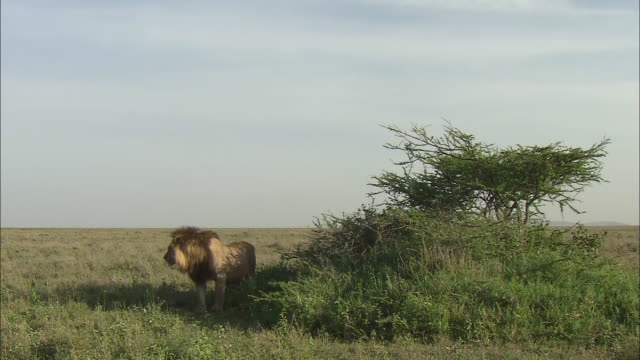 a male lion on the field in serengeti national park, tanzania - male animal stock videos & royalty-free footage