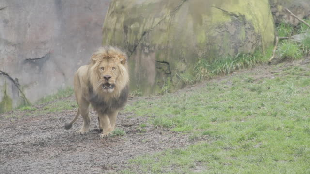 vídeos de stock e filmes b-roll de a male lion pants and backs away - leão
