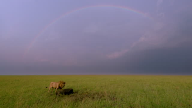 male lion & rainbow, maasai mara, kenya, africa - male animal stock videos & royalty-free footage