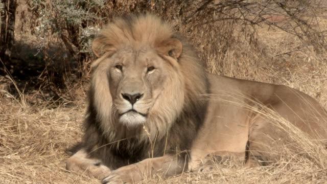 a male lion rests on the savanna and snarls. - 歯をむく点の映像素材/bロール