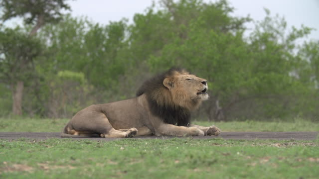 Male lion roars from an airstrip in the Kruger National Park, South Africa
