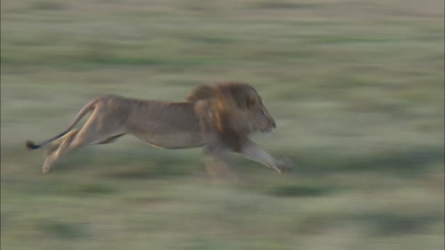a male lion running on the field in serengeti national park, tanzania - male animal stock videos & royalty-free footage