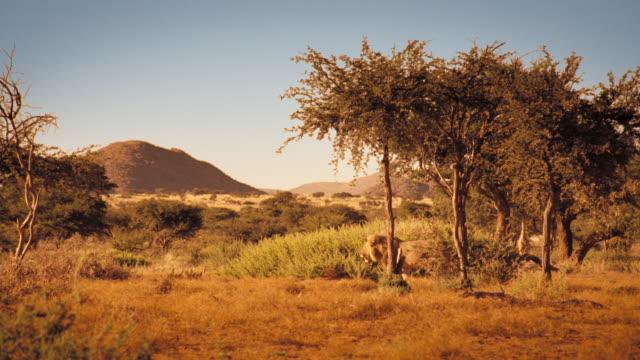 vídeos y material grabado en eventos de stock de a male lion saunters through the kalahari desert in south africa. available in hd. - desierto del kalahari