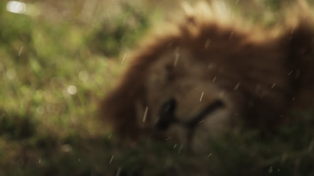 male lion (panthera leo) sleeps during rain on savannah, kenya - männliches tier stock-videos und b-roll-filmmaterial