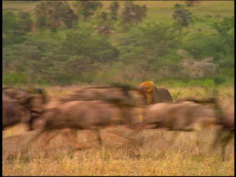 stockvideo's en b-roll-footage met male lion slowly walking toward herd of wildebeest running past camera in foreground  / serengeti, africa - op hol slaan