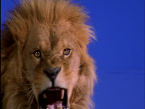 male lion snarls against blue background - chroma key stock videos & royalty-free footage