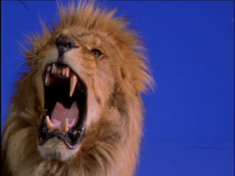 male lion snarls against blue background - 2000年風格 個影片檔及 b 捲影像