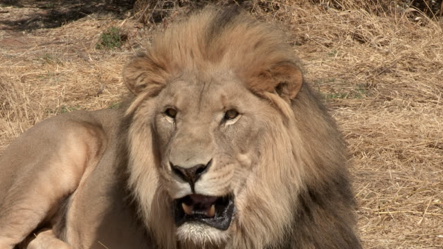 a male lion snarls, showing its teeth. - aggressione video stock e b–roll