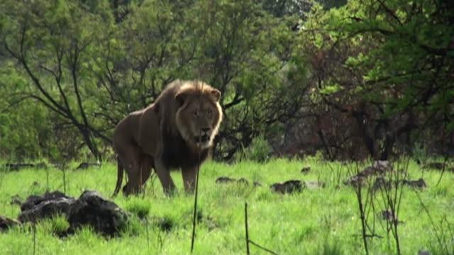 a male lion stalks through a grassy field. - ライオン点の映像素材/bロール