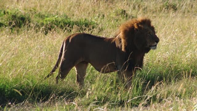ms male lion standing in long grass / masai mara, kenya - standing stock videos & royalty-free footage