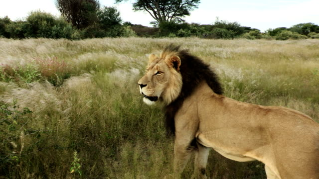 Male Lion(Panthera leo) standing in short grass