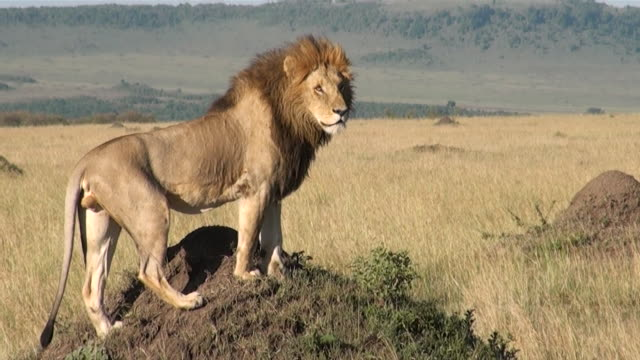 MS Male lion standing on termite hill in savanna of masai mara national park AUDIO / Masai Mara, Rift Valley, Kenya