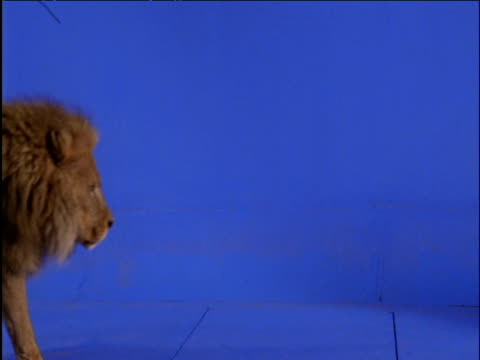 male lion strides past against blue background - chroma key stock videos & royalty-free footage