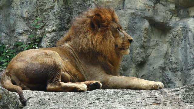 HD : Male lion