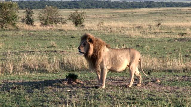 Male lion walking across plains of Masai Mara game reserve.Kenya
