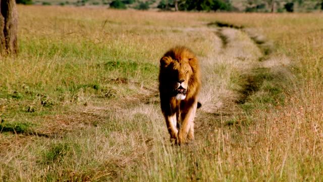 MS TS Male lion walking along track across grassland / Masai Mara, Kenya