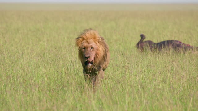 male lion walking in long grass, maasai mara, kenya, africa - männliches tier stock-videos und b-roll-filmmaterial