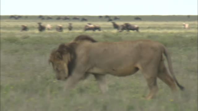vídeos de stock e filmes b-roll de a male lion walking on the grass in serengeti national park, tanzania - cara para baixo