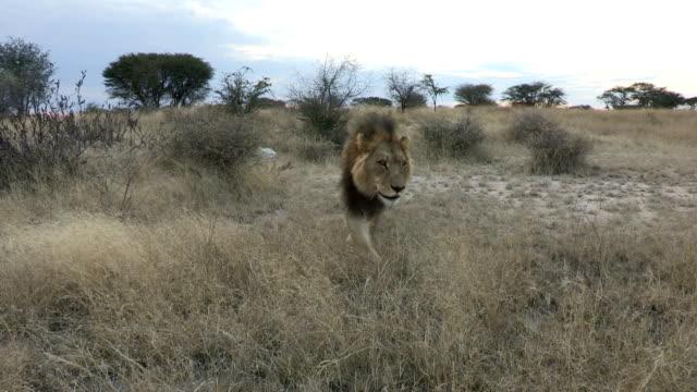 male lion walking through grass towards camera - pericolo video stock e b–roll