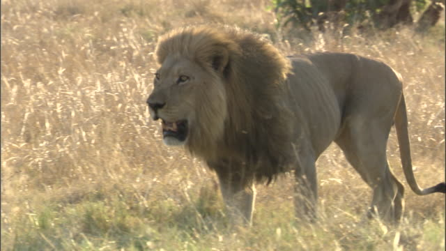 male lion walks across grassland, botswana - bbc stock videos and b-roll footage